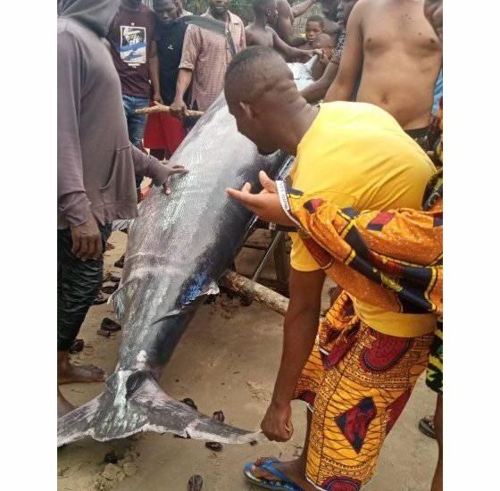 Check Out This Giant Swordfish Caught By Some Fishermen In Rivers State