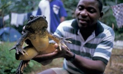 world biggest frog